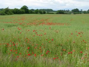スヴァンボー郊外、ポピーが可憐な草原