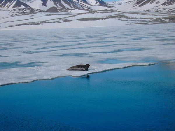 氷の上で昼寝するあざらし