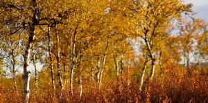 ユッラス・パッラス国立公園の黄葉