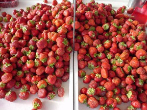 露地栽培のイチゴ