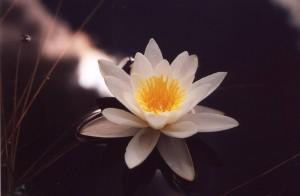 清楚な雰囲気を漂わせる白花のスイレン