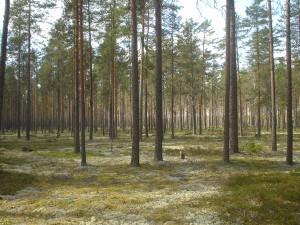 中部フィンランドのマツタケの森