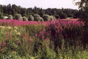 赤紫色の花で野原一面に咲き乱れるヤナギランの群落