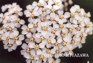 白花または淡紅花をつけるセイヨウノコギリソウ