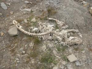 かわいそう・・・トナカイの骨