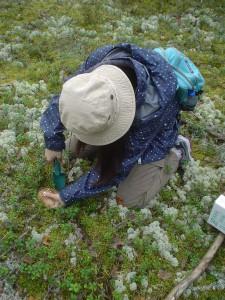 注意深く松茸を掘上げる